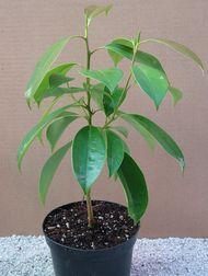 Magnolia Propagation Burncoose Nurseries