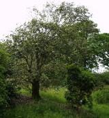 Evergreen Oaks