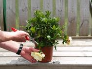 Pruning and tidying Gardenias