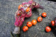 Ripe Magnolia mollicomata seed