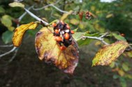 Ripe Magnolia seiboldii  seed