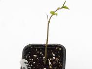 Styrax hookeri seedling