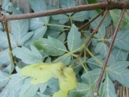 Unripe Acer griseum seed