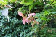 Unripe Acer palmatum 'Osakazuki' seed