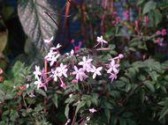 Jasmine in flower