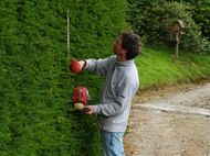 trimming a yew hedge