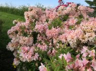 Northumberland, planting by Burncoose, 5