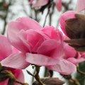 Magnolia 'Susanna van Veen'