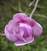 Magnolia_Philip_Tregunna.jpg