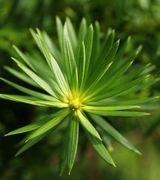 Caring for Podocarpus