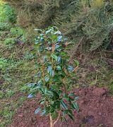 Caring for shrubs