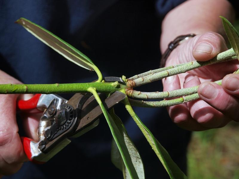 Рододендрон размножение черенками фото