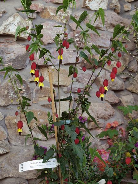 Abutilon Megapotamicum From Burncoose Nurseries