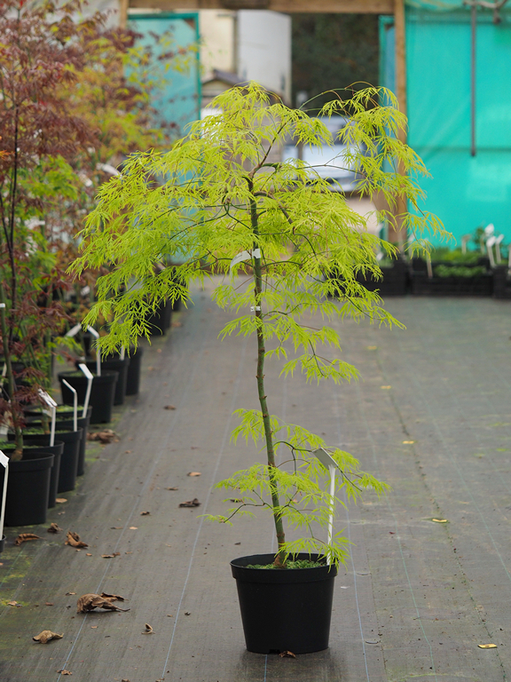 Acer Palmatum Dissectum Flavescens From Burncoose Nurseries