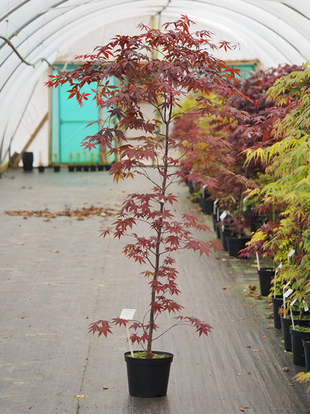 Acer Palmatum Red Emperor From Burncoose Nurseries