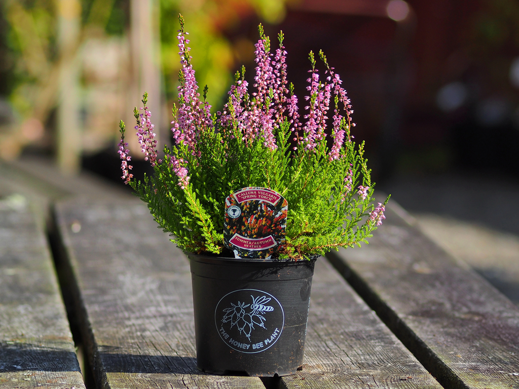Heathers Calluna Vulgaris Spring Torch From Burncoose Nurseries