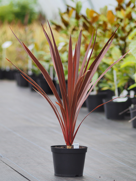Cordyline Australis Red Star From Burncoose Nurseries