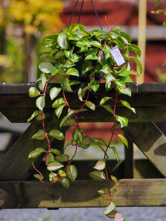 Hoya Carnosa Tricolor From Burncoose Nurseries