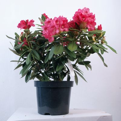 Rhododendron In Pot.Rhododendron Sneezy