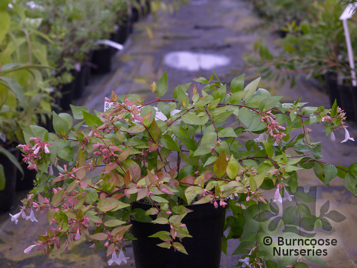 Abelia X Grandiflora Francis Mason From Burncoose Nurseries