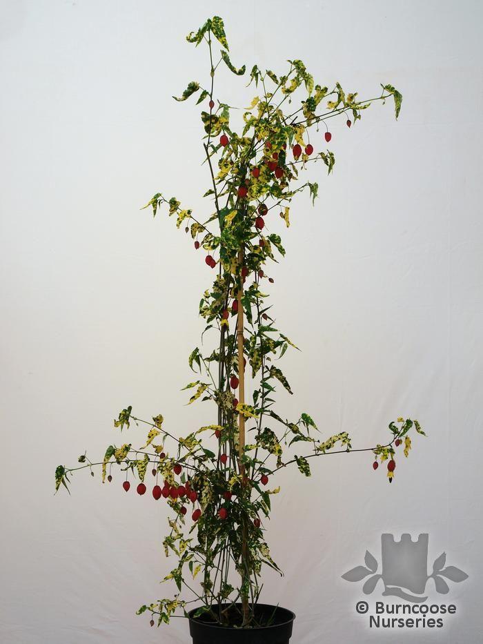 Abutilon Megapotamicum Variegatum From Burncoose Nurseries