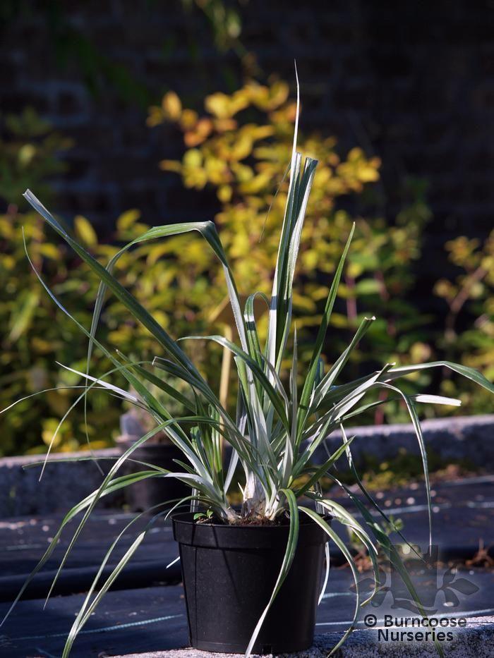Astelia Banksii From Burncoose Nurseries