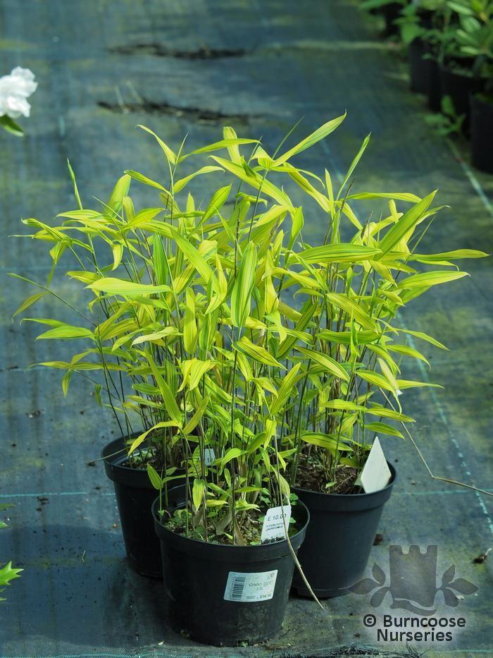 Bamboo Pleioblastus Auricomus From Burncoose Nurseries