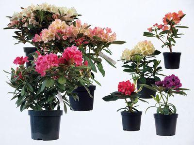 rhododendron 39 nova zembla 39 from burncoose nurseries. Black Bedroom Furniture Sets. Home Design Ideas