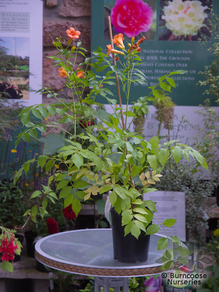 campsis radicans 39 indian summer 39 from burncoose nurseries. Black Bedroom Furniture Sets. Home Design Ideas