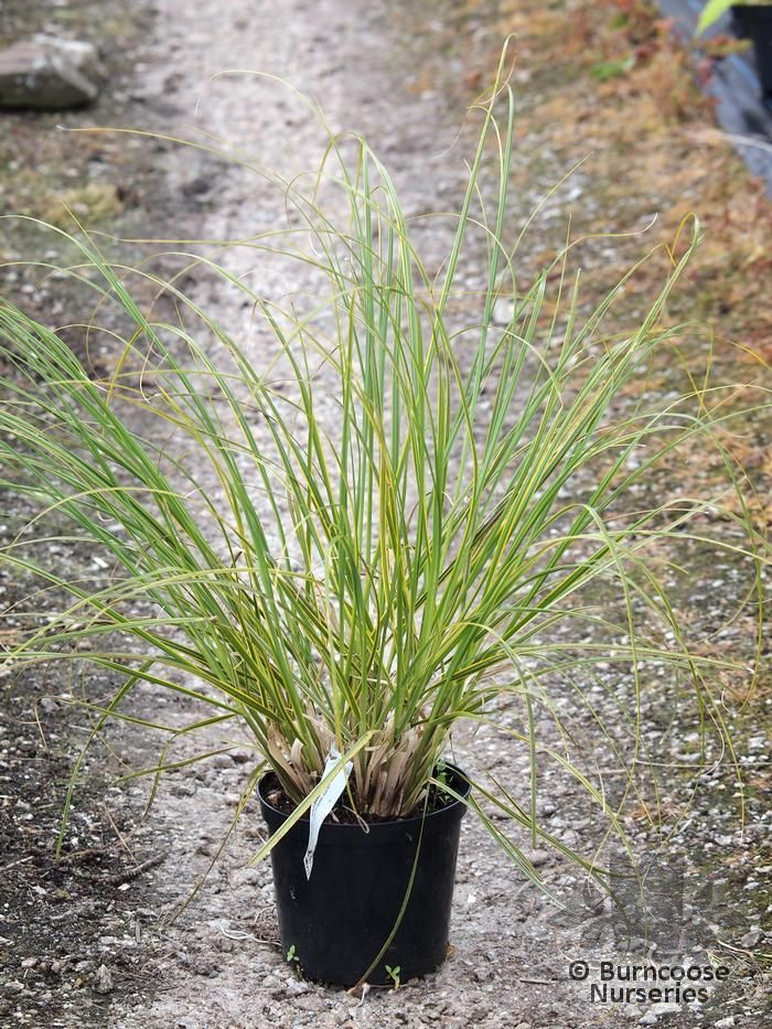cortaderia selloana 39 gold band 39 from burncoose nurseries. Black Bedroom Furniture Sets. Home Design Ideas