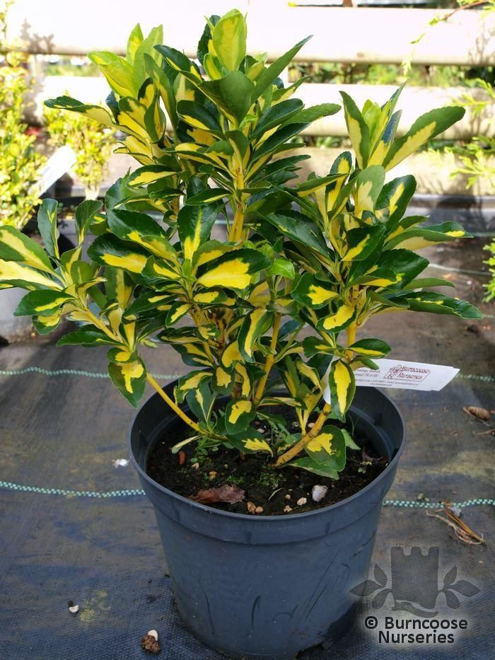euonymus japonicus 39 aureus 39 from burncoose nurseries. Black Bedroom Furniture Sets. Home Design Ideas