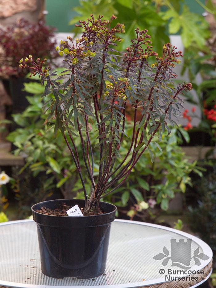 Euphorbia Amygdaloides Blackbird