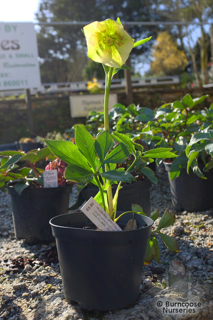 helleborus orientalis  u0026 39 yellow lady u0026 39  from burncoose nurseries