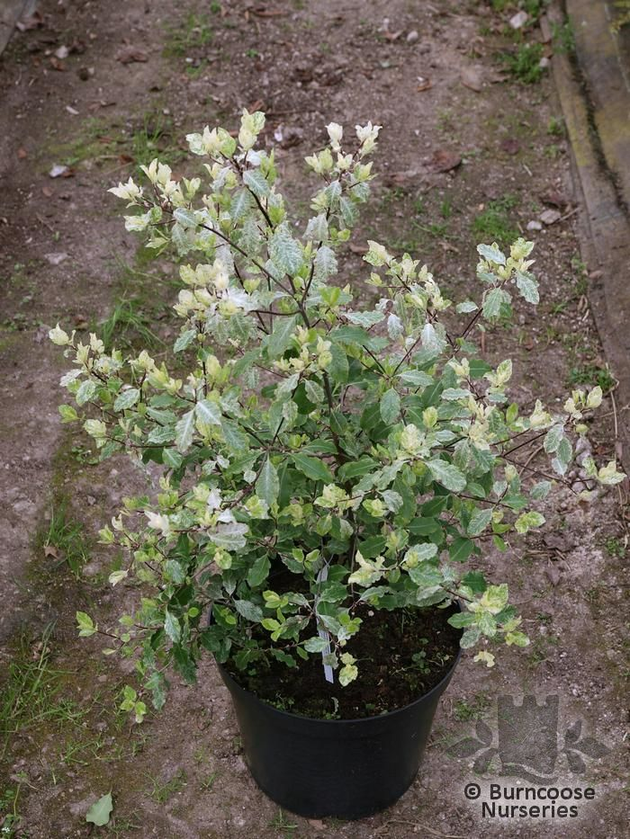 Garden Bush: Pittosporum Tenuifolium 'Irene Paterson' From Burncoose