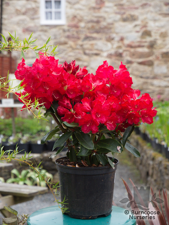 rhododendron halfdan lem from burncoose nurseries