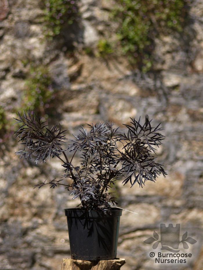 Sambucus Nigra Black Lace From Burncoose Nurseries