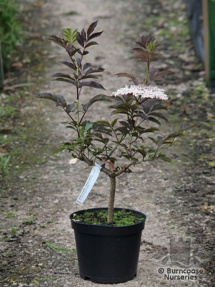 Sambucus Nigra Guincho Purple From Burncoose Nurseries