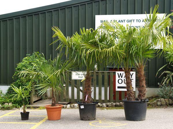 trachycarpus fortunei from burncoose nurseries. Black Bedroom Furniture Sets. Home Design Ideas