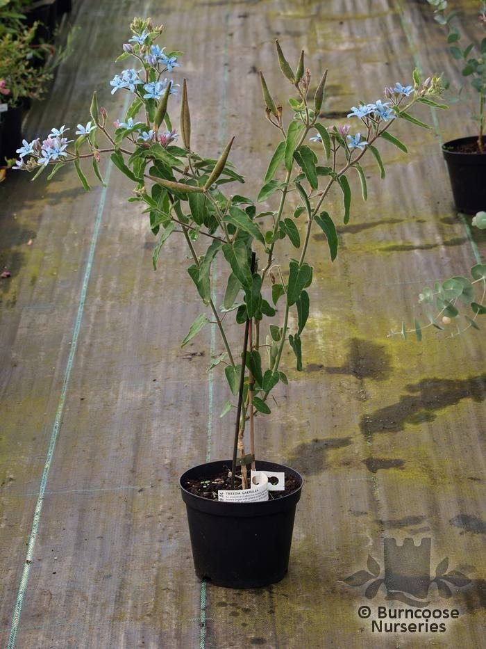 Tweedia Caerulea From Burncoose Nurseries