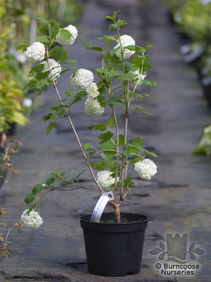 viburnum opulus 39 roseum 39 from burncoose nurseries. Black Bedroom Furniture Sets. Home Design Ideas
