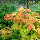 Acer Shirasawanum Autumn Moon From Burncoose Nurseries