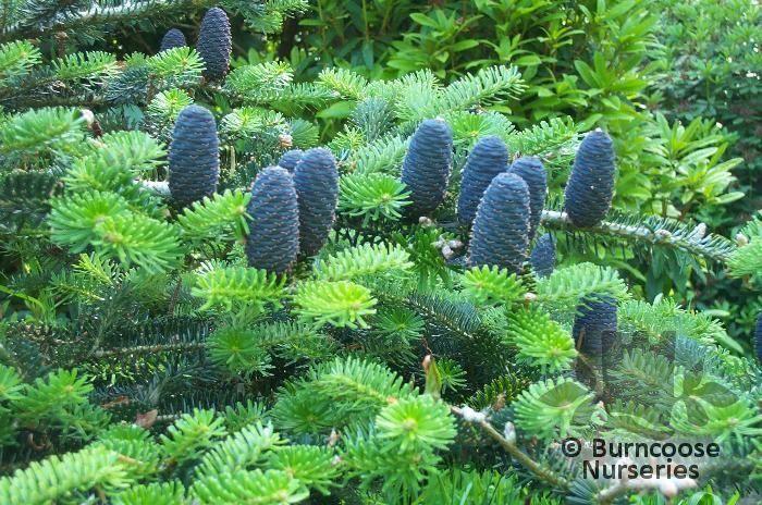 Abies From Burncoose Nurseries