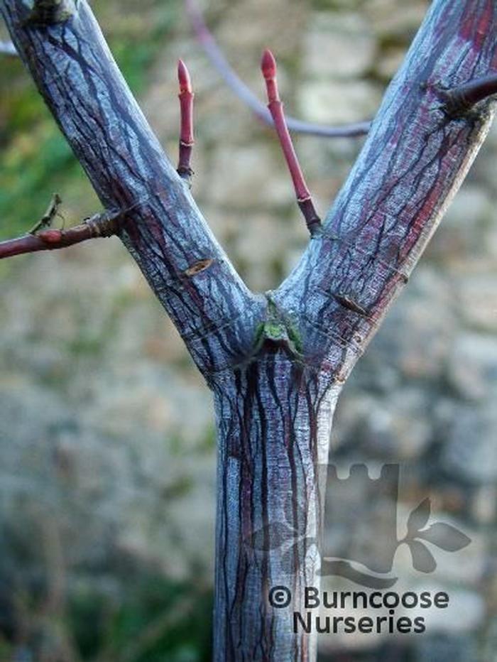 Acer Davidii From Burncoose Nurseries