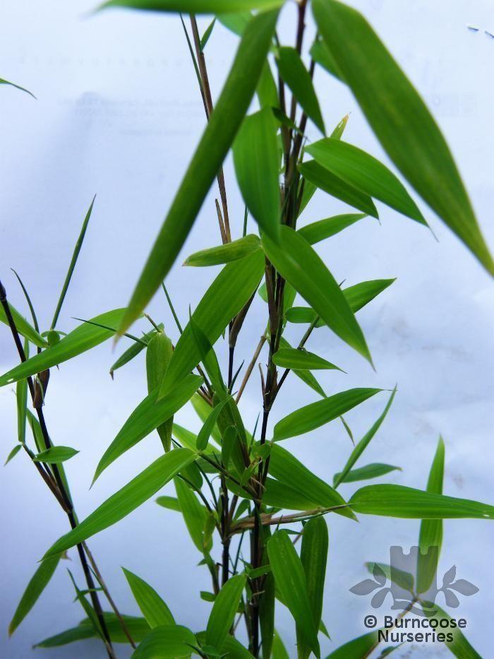 bamboo from burncoose nurseries. Black Bedroom Furniture Sets. Home Design Ideas