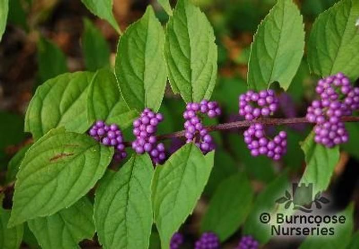 Berry Bushes For Birds