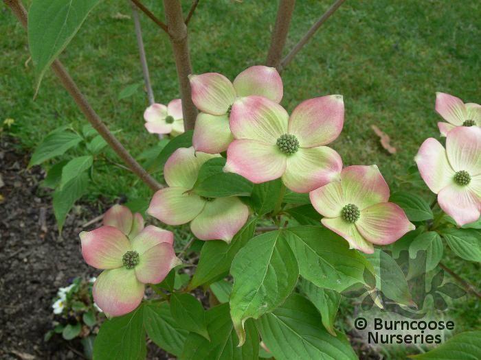 Cornus X Rutgersensis Stellar Pink From Burncoose Nurseries