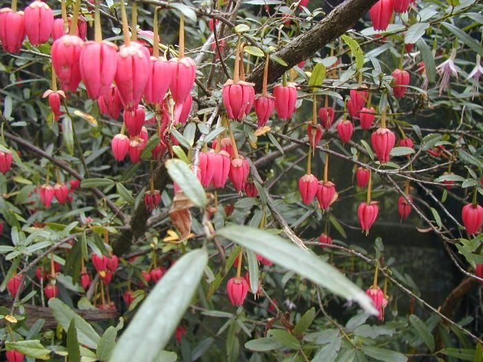 crinodendron hookerianum from burncoose nurseries