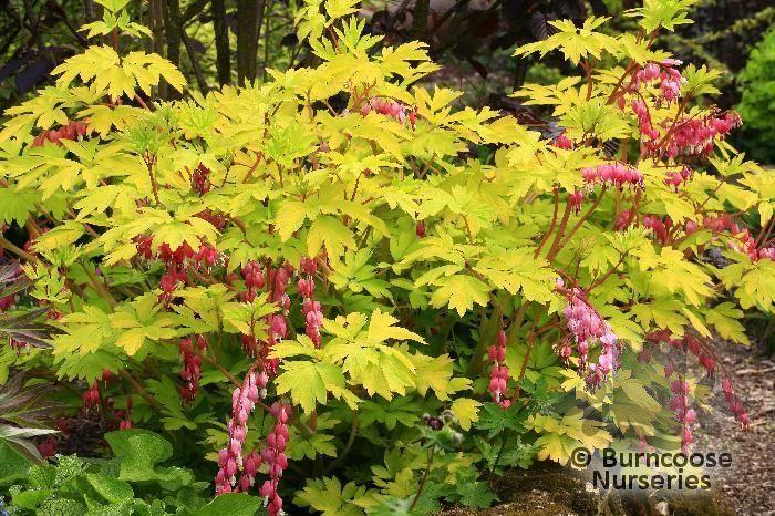 Dicentra Spectabilis Goldheart From Burncoose Nurseries