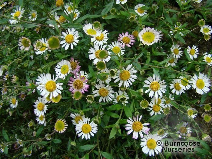Erigeron Karvinskianus From Burncoose Nurseries