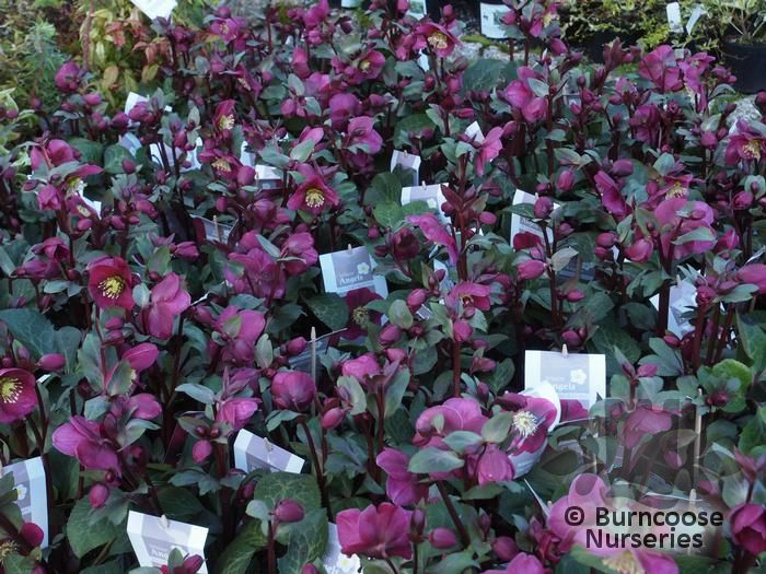 Helleborus 'Anna'S Red' from Burncoose Nurseries